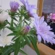 ストケシアという花