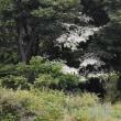 軽井沢のいろいろ 軽井沢に 「 やまぼうし 」 が咲き始めて・・
