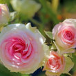 京成バラ園 ローズガーデン 満開の薔薇とお気に入りの薔薇