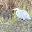 滋賀県長浜市湖北町今西にある湖北野鳥センター近くでは、カモ類などを観察しました