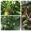 実家の果実たち【モモ、スモモ、ビワ、ラズベリー、ブルーベリー】