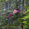 真夏は 真夏で素敵な ブルー系ランブラーローズ「アイヴァンホー」