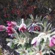 尾所の桜 オキナグサ コブシの花