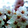 Cherry drops           (13年目のブログ)