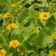 久万高原町の花