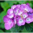 紫陽花  (4の4)  ★ 2018.06.25 ★
