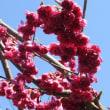 越後の雪面に朝陽と木立と宇和島市の緋桜の紹介