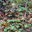 談山神社の紅葉とアトリ