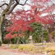 須賀川牡丹園 寒牡丹咲いてました