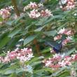 庭にきた蝶(19)ミヤマカラスアゲハ