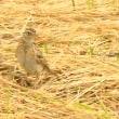 モエレの鳥たち 6/22 D線上のカッコウ ノビタキの幼鳥 他