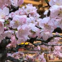 桜はもう少しかなー