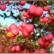 スピンドルツリー 檀、とも、真弓ともいう木の実が愛らしい