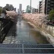 昨日 夕刻、目黒で桜
