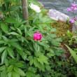 花壇の「シャクヤク」も開花おっかけ。