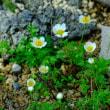 咲くやこの花館の高山植物(2)
