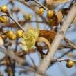 咲き始めのロウバイ(蝋梅)