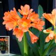 君子蘭の開花
