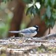 探鳥・・・アトリ、カワラヒワ (西湖 野鳥の森公園) 3月18日 ☆河口湖から西湖までドライブしてBW。