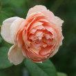 庭のお花達 薔薇・マチルダ他