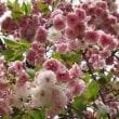八重桜の生命