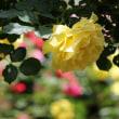 花回廊のバラの花を・・・