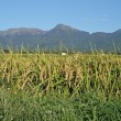 稲穂も輝き、透き通る空気の今日は八ヶ岳も綺麗です。