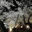 前橋公園の夜桜