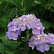 紫陽花が盛りを迎えています。きょうの一句は「大瑠璃」