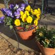 冬の鉢植え
