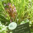 植物園のナンバンギセルの花です