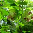 ツルニンジン 釣鐘形の花