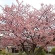 サクラ(蓬莱桜 4)・防府市向島小学校