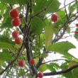 桜桃(サクランボ)
