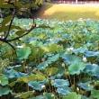 大きな蓮の葉 蓮の花 朝露 青空