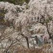 4月9日 🌸桜開花情報🌸