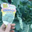 """ブロッコリー""""スティックセニョール""""の頂花蕾を収穫しました"""