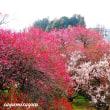 「鎌倉街道」にひと際鮮やかな紅白の梅園