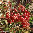 「県立相模原公園」の赤い「ナンテン(南天)」の実