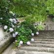 長谷寺の夏を彩る花 「アジサイ」