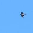 飛んで来た小さな鷹は、ハイタカだった。