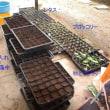 白菜の苗準備開始