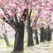 八重桜の小径