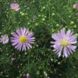 14日の散歩で見た花、新顔です。(ツリフネソウ オヤマボクチ チカラシバ クジャクソウ他)