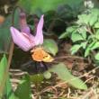 豊平公園 カタクリとエゾエンゴサク