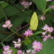 今日の散歩で見た蝶は、キチョウです。