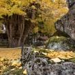 筒賀の銀杏の木