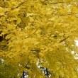 長床 黄金色の大イチョウ