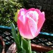 うちの春。