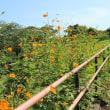 コスモス&ひまわり狩り 横須賀市久里浜 くりはま花の国(4)キバナコスモス